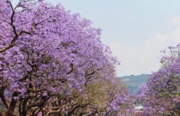 Jacaranda trees in Africa