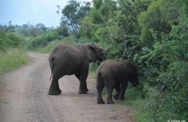 Elephants on the road